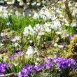 Pomlad-pod-dišečim-kosteničevjem-.-_