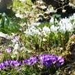 Pomlad-pod-dišečim-kosteničevjem-_