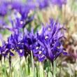 Iris-reticuata-_