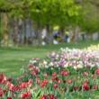 tulipani_trata_matic_sever